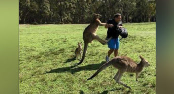 3 Injured After Large Kangaroo Attacks Family In Queensland